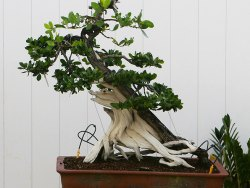 How to enter the world of bonsai