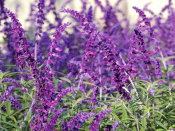 How to distinguish between perennials and perennials