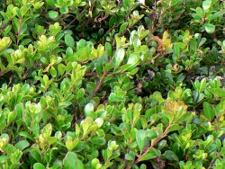 The boxwood shrubs