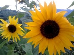 Raw sunflower seeds Nutrition Facts