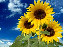 Sunflowers girasoles Tips and Advice