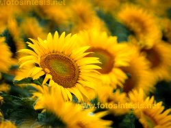 Sunflower plants