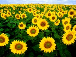 Data sunflowers