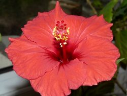 Growing hibisco care Caring for Hibiscus plants