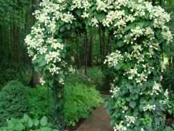 Escalada Hydrangea